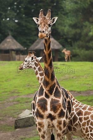 giraffes on field