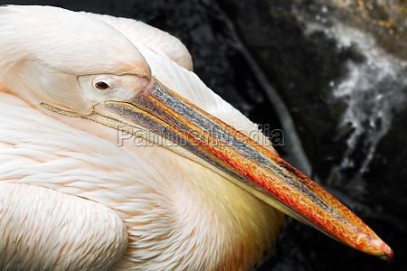 close up pelican