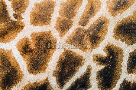 giraffe spots furry skin background