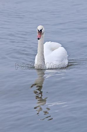 white mute swan swimming