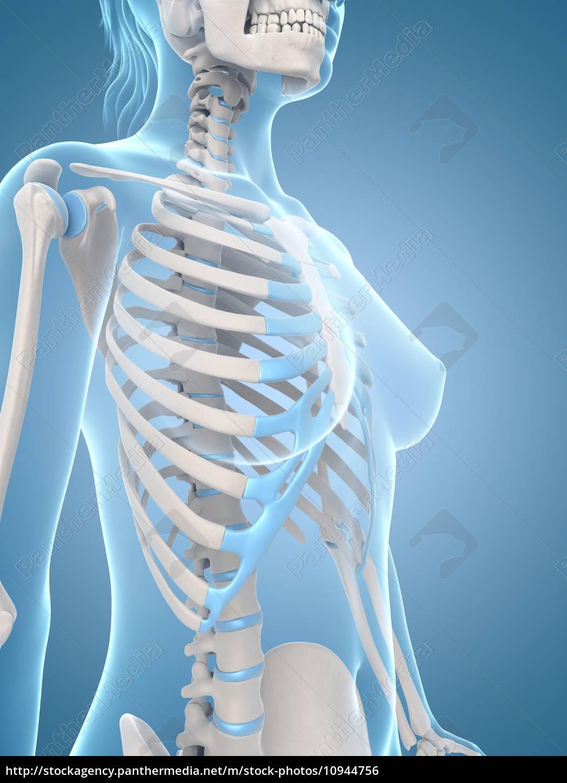 Medical Illustration Of The Female Skeleton Royalty Free Photo