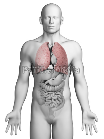 3d rendered illustration male lung