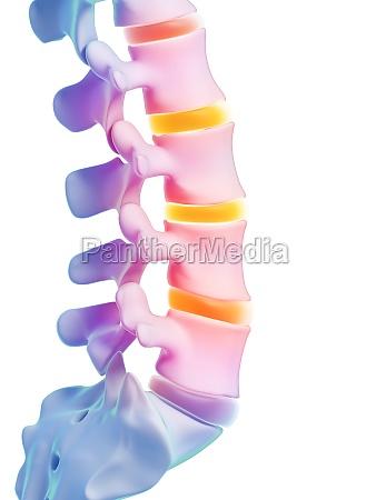 3d rendered illustration human spine