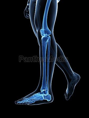 3d rendered medical illustration bones