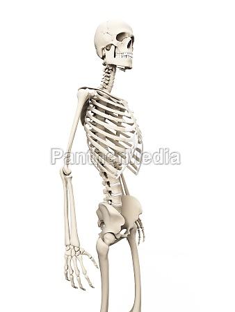 medical illustration of the skeleton