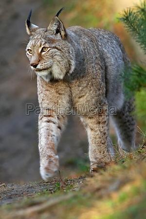the eurasian lynx or northern lynx