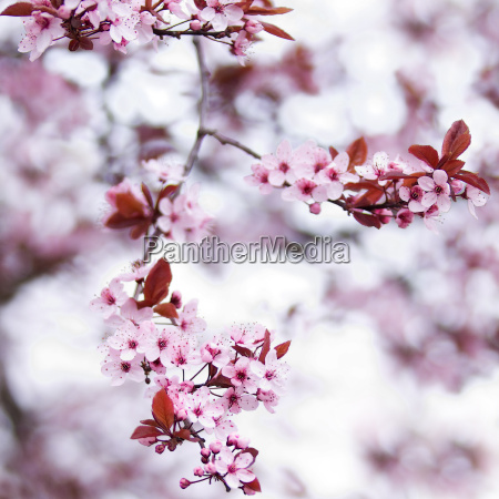 pink cherry blossom flowers in early