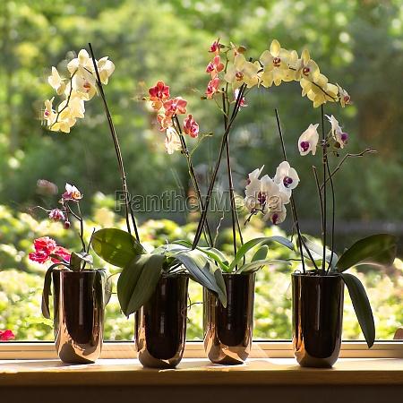moth orchids in plantpots in window