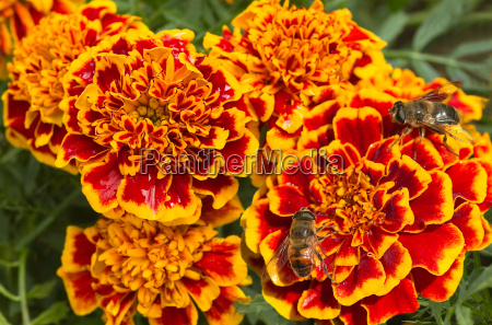 orange and red french marigold or