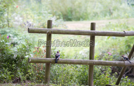 wooden fence with eurasian jay or
