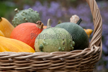 basket with colorful breed pumpkins
