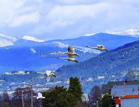 trumpeter swans cygnus buccinator flying snow