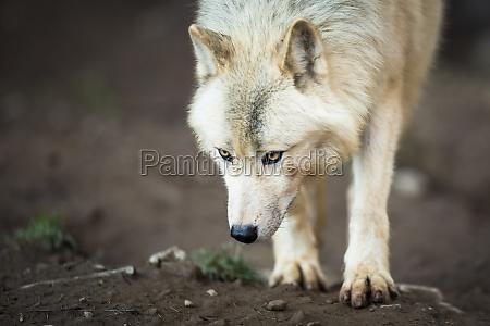 arctic wolf aka polar wolf or