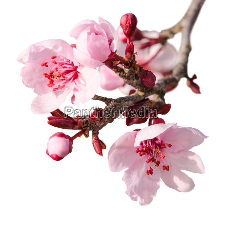 branch of spring plum blossom with