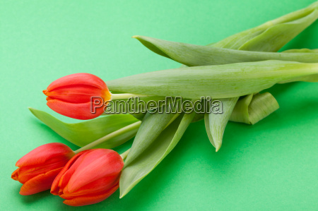 beautiful fresh red tulips as a