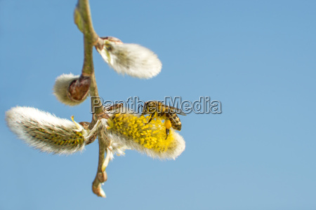willow blossom with bee