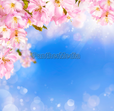 cherry blossoms background with light effects