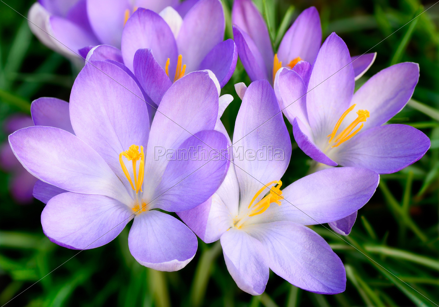 Purple Crocus Flowers Royalty Free Photo 11122636