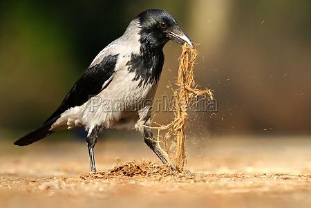 the fog crow corvus corone cornix