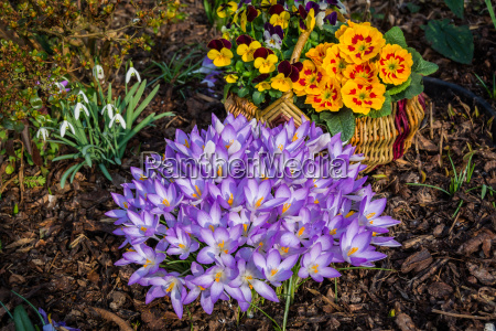 crocuses primroses horn violets and snowdrops