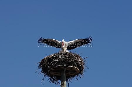 white storks during mating