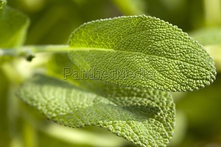 macro intake leaves of oregano