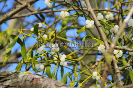 mistletoe mistletoe 26