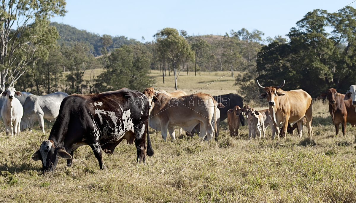 Royalty Free Photo 11158212 Australian Brindle Cow Beef Cattle Herd
