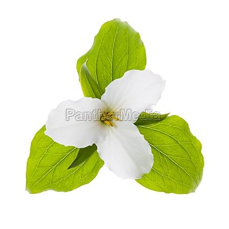 white trillium flower isolated