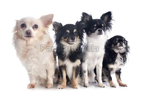 four chihuahuas