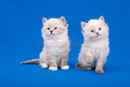 two siberian forest kittens