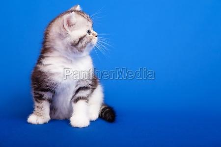 scottish purebred cat