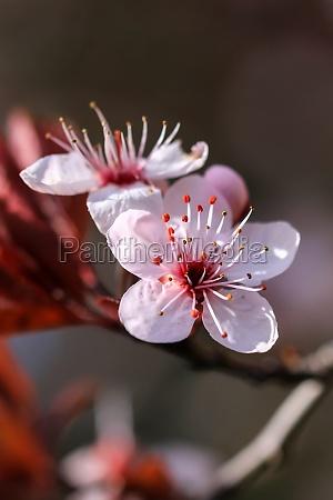 beautiful prunus flowers
