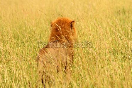 male lion looks into grassy savannah