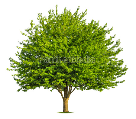 deciduous tree on white background