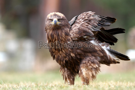 bird of prey steppe eagle