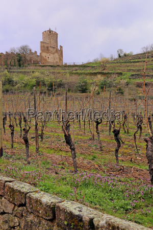 viticulture below the chateau de kayserberg