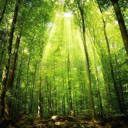 sunbeams in the buchenwald
