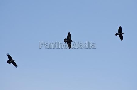 three black ravens flying in a