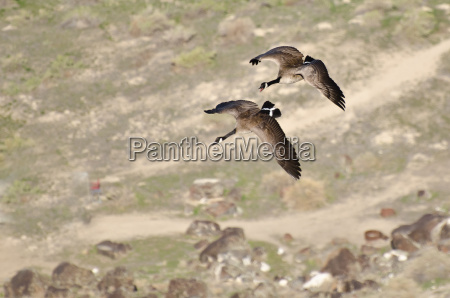 canada geese in flight viewed from