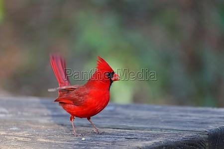 northern cardinal males