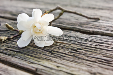 magnolia blossom twig wood board flowers