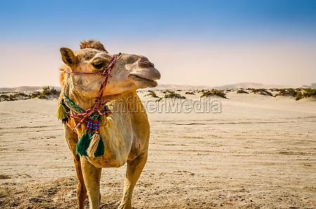 camel standing in the desert looking