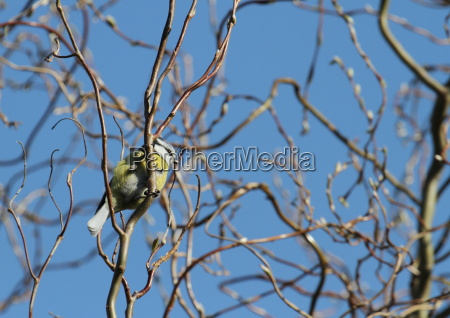 blue tit sitting in tree