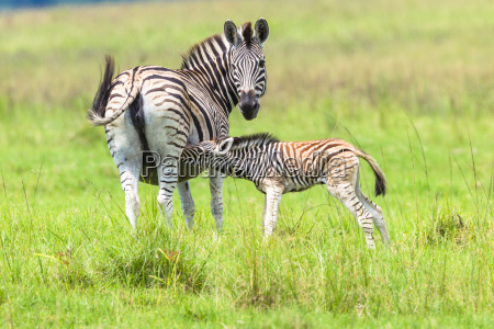 zebras wildlife animals