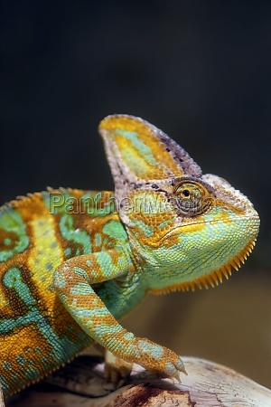yemen chameleon chamaeleo calyptratus