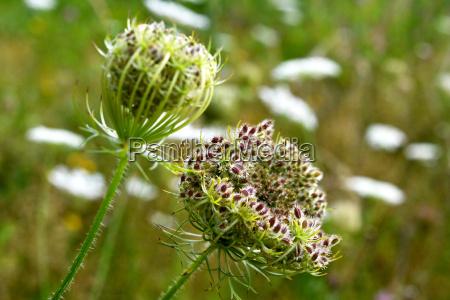 daucus carota in bloom in a