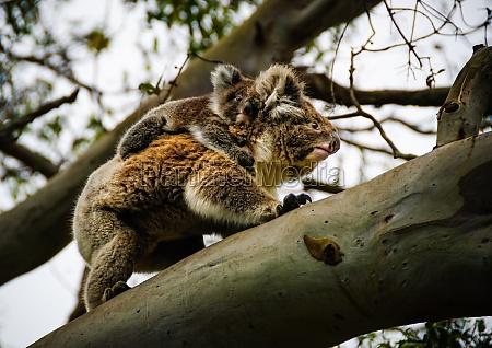 koala with baby otway