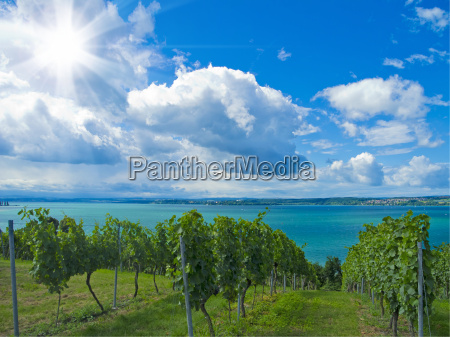 vineyard on lake constance
