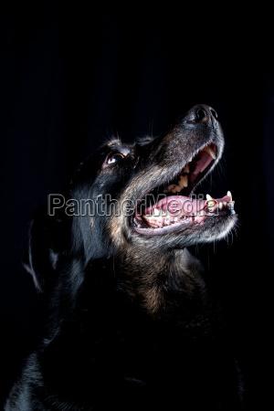 husky half breed
